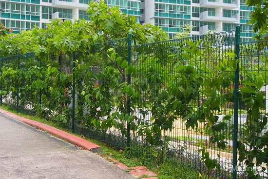 The plant climbers facing the HDB apartment blocks are about three-quarters past the fence height.
