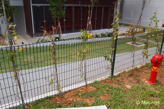 The first shrubs have also been installed beside the fence in front of the Tennis Court. These need to grow, quick.