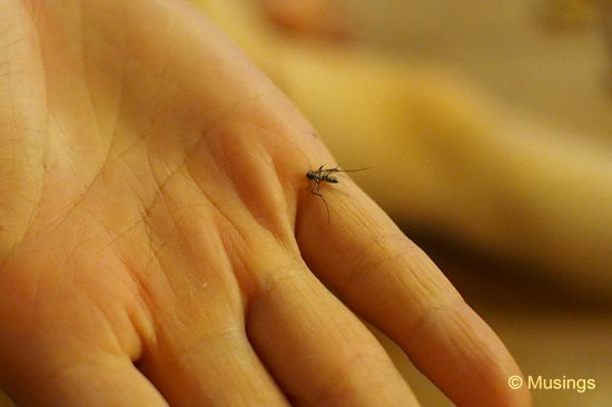 Eagle-eyed wife said this was the Aedes mosquito, capable of carrying Dengue fever. Thankfully, there was no such outbreak in this part of the world - unlike Singapore for several months this year.