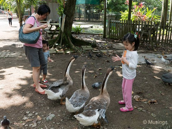 There's a small kid's animal zoo near Jalan Kayu that we swung by over the weekend. Hannah is deciding whom among the three gets the last bird seed, while Peter seemed unnerved!